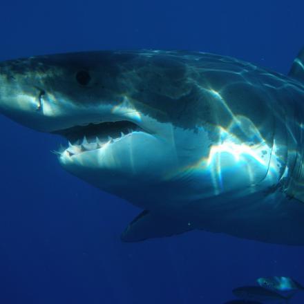 Očekávání vs. realita: potápění s bílými žraloky v kleci